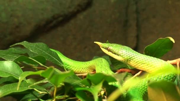 Vietnamese Longnose snake (Rhynchophis Boulengeri)