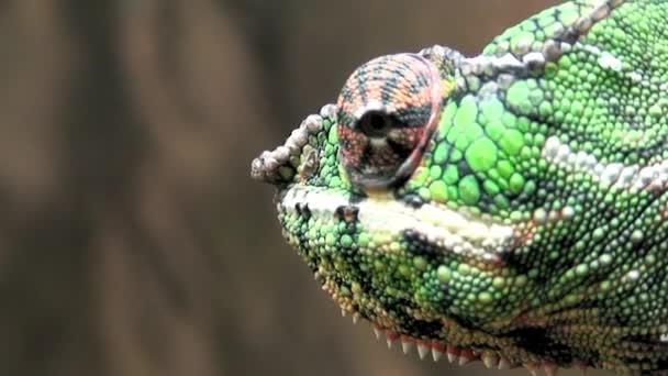 Veiled Chameleon (Chamaekeo calyptratus) three