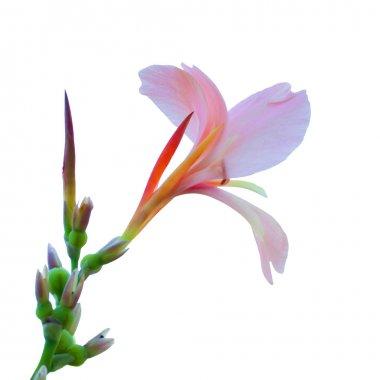 Hippeastrum johnsonii flower thailand name wan si tid