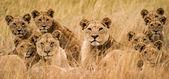 Fotografia leone africano
