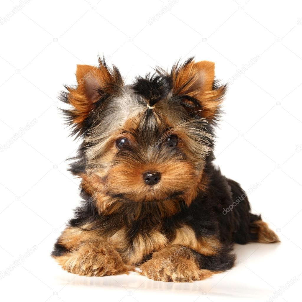 A Yorkshire Terrier Kolyok Stock Foto C Photopotam 12894851