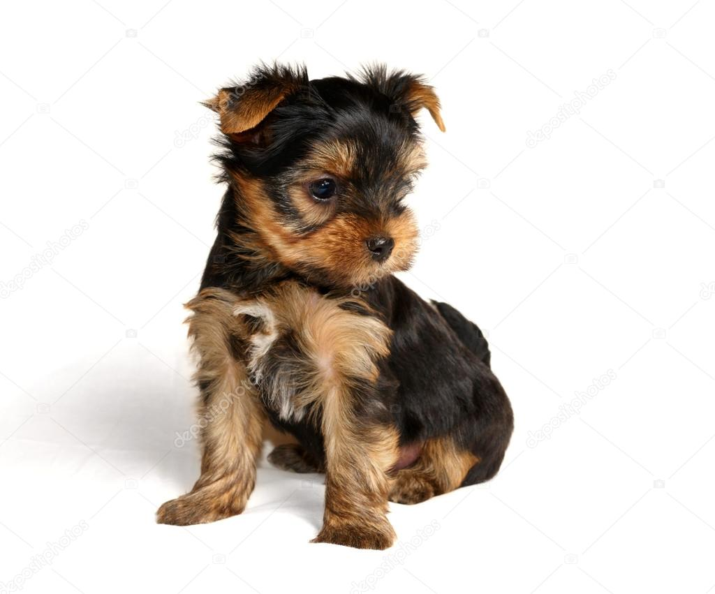 A Yorkshire Terrier Kolyok Stock Foto C Photopotam 12894964