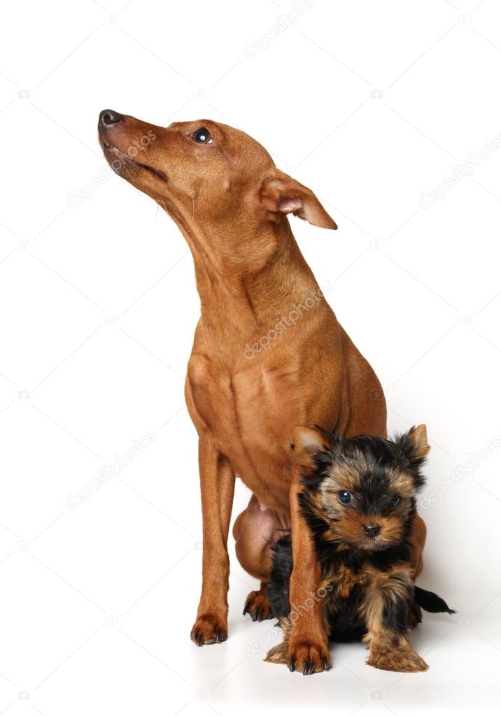 Images Yorkie Min Pin Red Miniature Pinscher And Yorkie Puppy Stock Photo C Photopotam 12895089