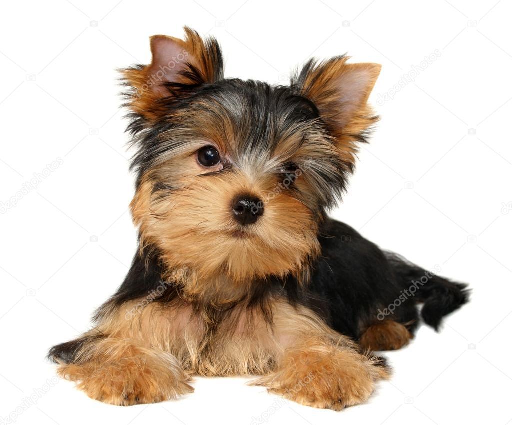 A Yorkshire Terrier Kolyok Stock Foto C Photopotam 13179067