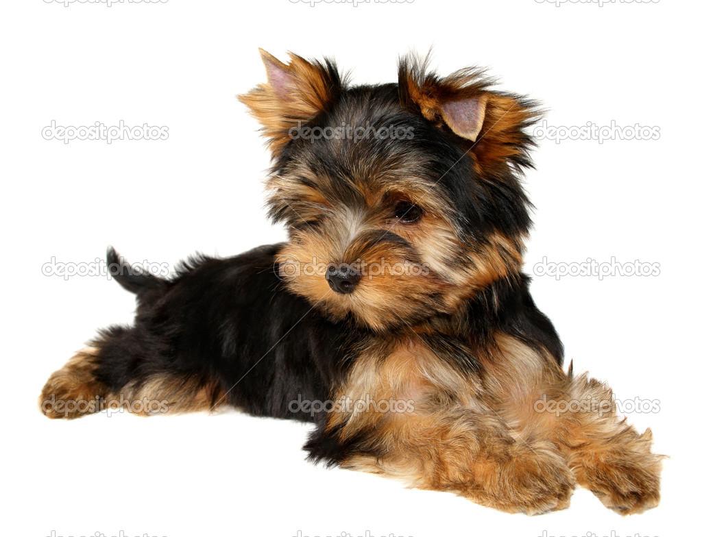 A Yorkshire Terrier Kolyok Stock Foto C Photopotam 13179071