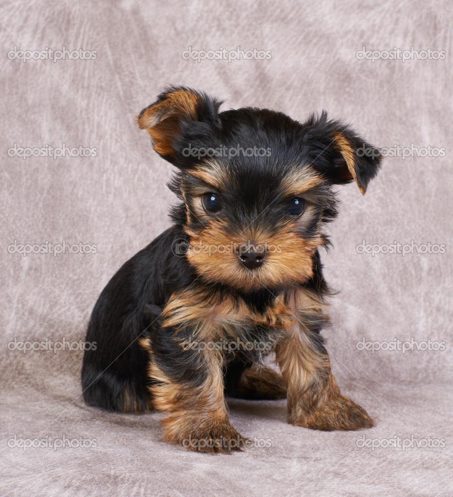 A Yorkshire Terrier Kolyok Stock Foto C Photopotam 13265645