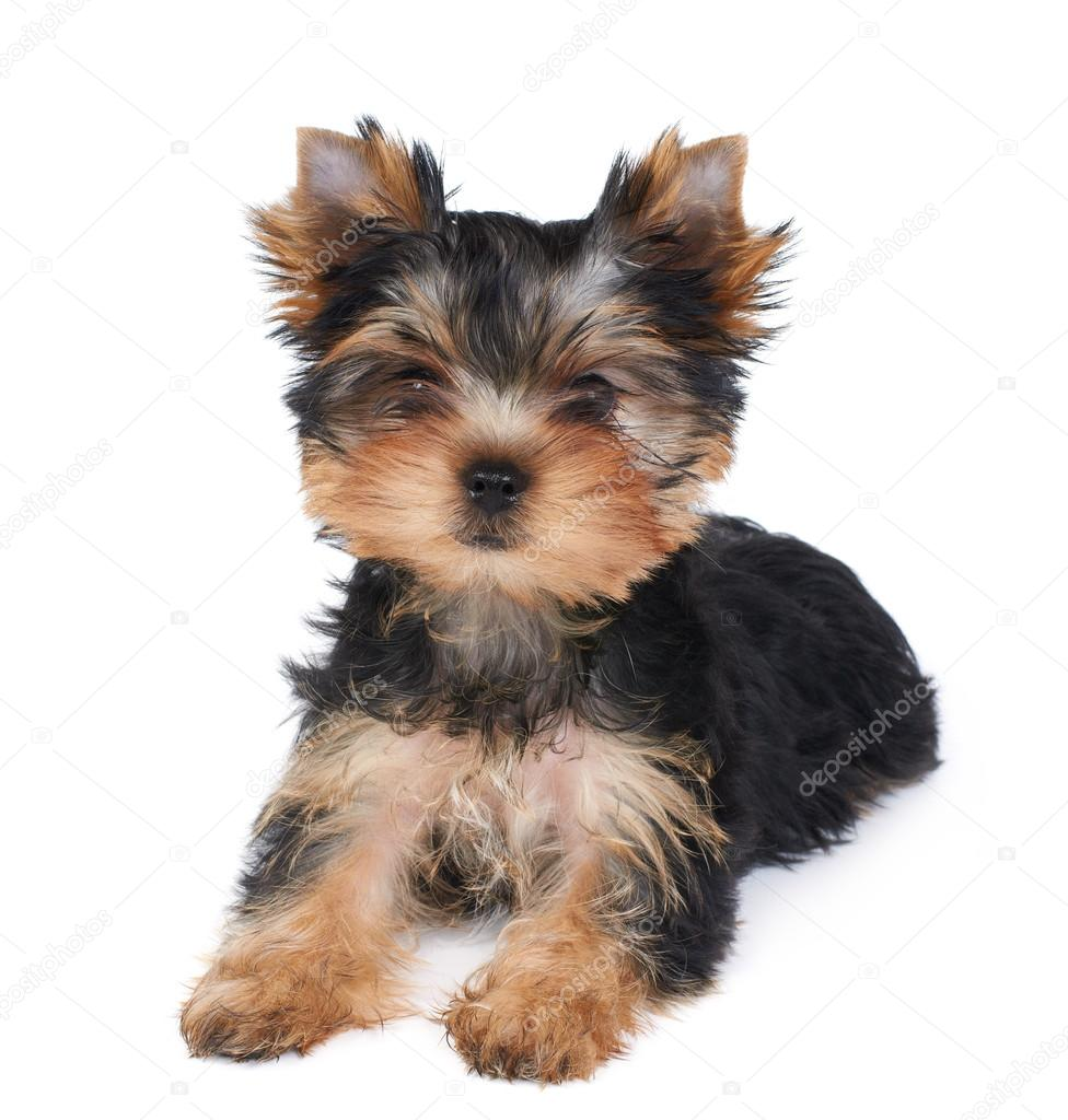 A Yorkshire Terrier Kolyok Stock Foto C Photopotam 13265663