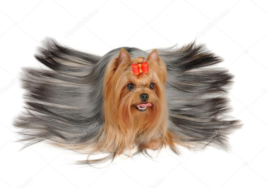 Yorkshire Terrier With Long Hair Stock Photo C Photopotam