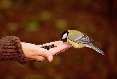 tomtit eating seeds on a hand