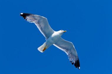 Sea gull in the air