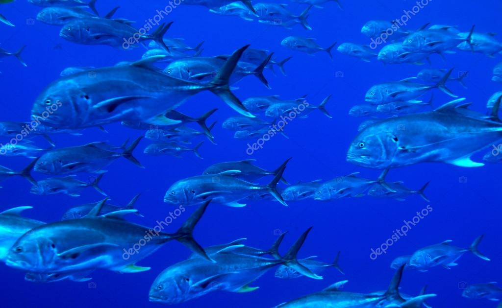 School of tuna fishes, Cuba