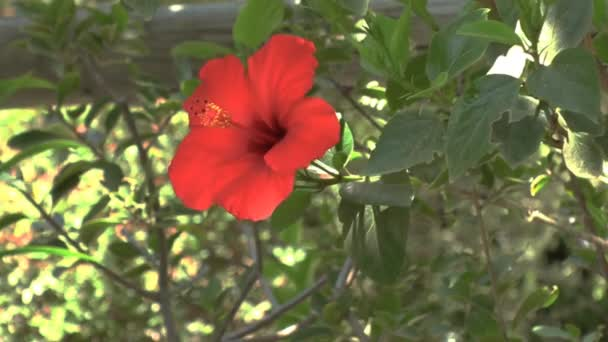pozadí s červenými ibišek květ, Kréta