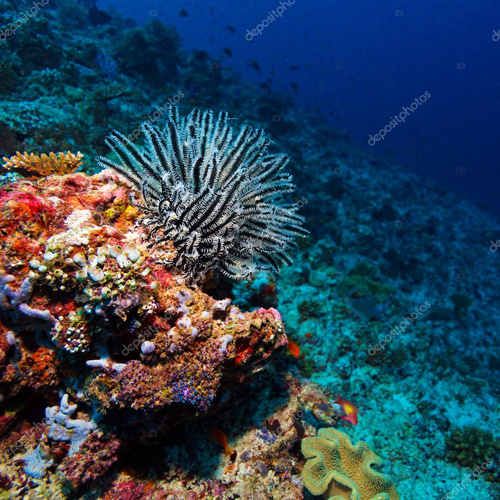 Sea Lilie on Tropical Coral Reef