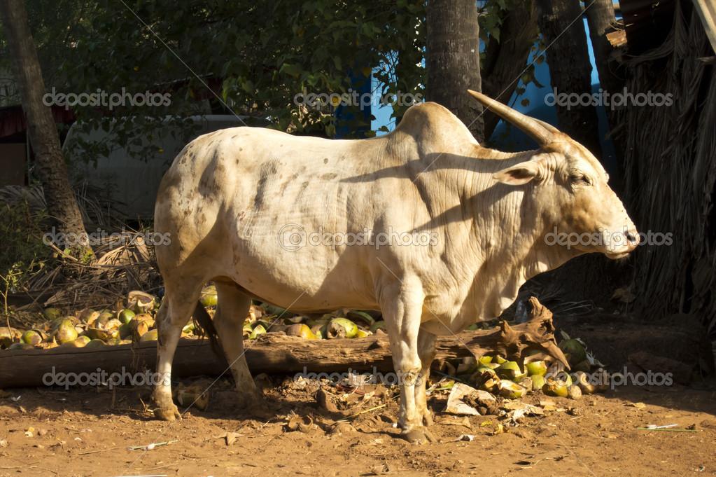 дикая корова