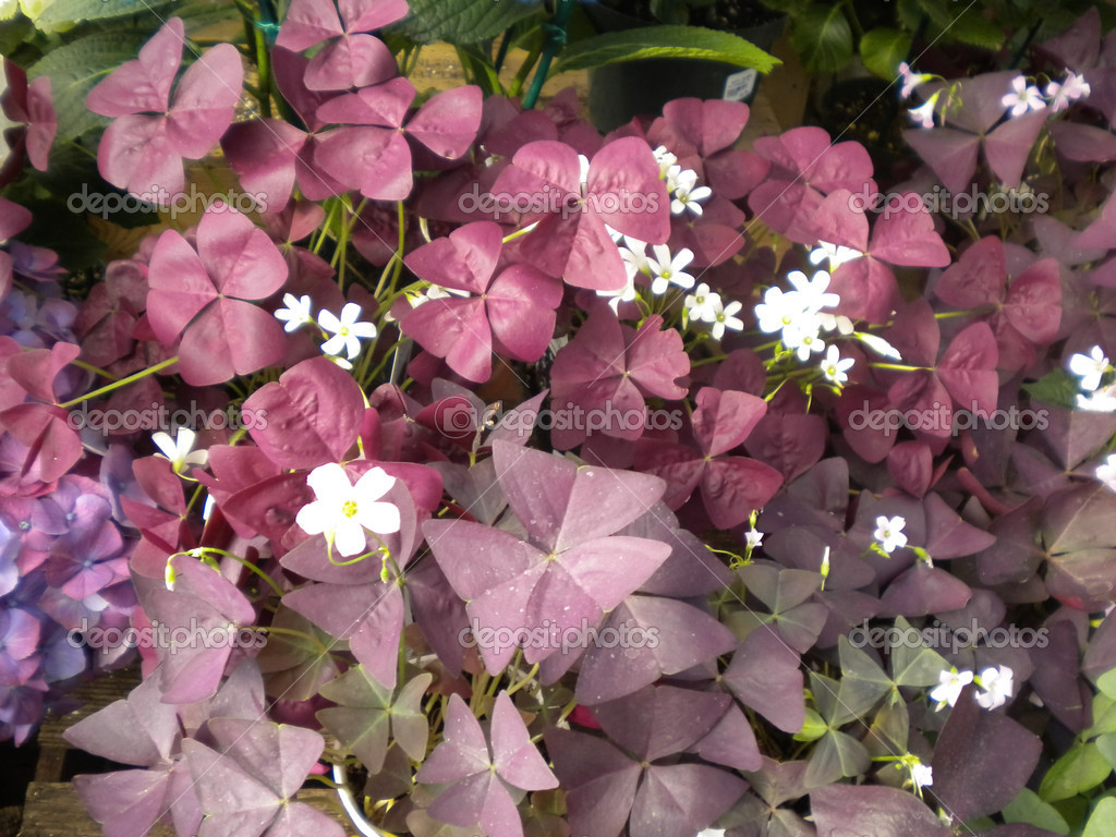 Purple Plant With White Flowers Stock Photo Corareed 13141105