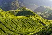 Fotografia piantagione di tè, cameron highland malaysia