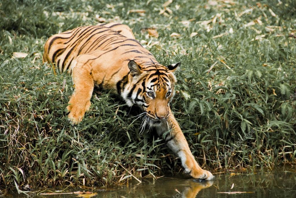 Tiger's Curiosity