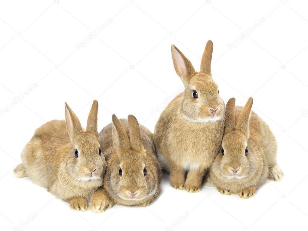 group of young golden rabbits sitting on white stock photo kozzi2 14093081. Black Bedroom Furniture Sets. Home Design Ideas