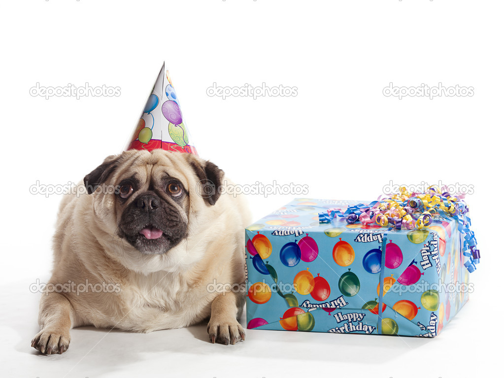 A Pug On White Background With Birthday Present And Hat Photo By