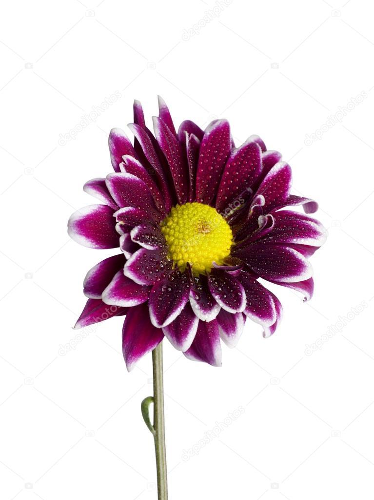 violet daisy flower