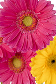 cropped image of pink and yellow daisies