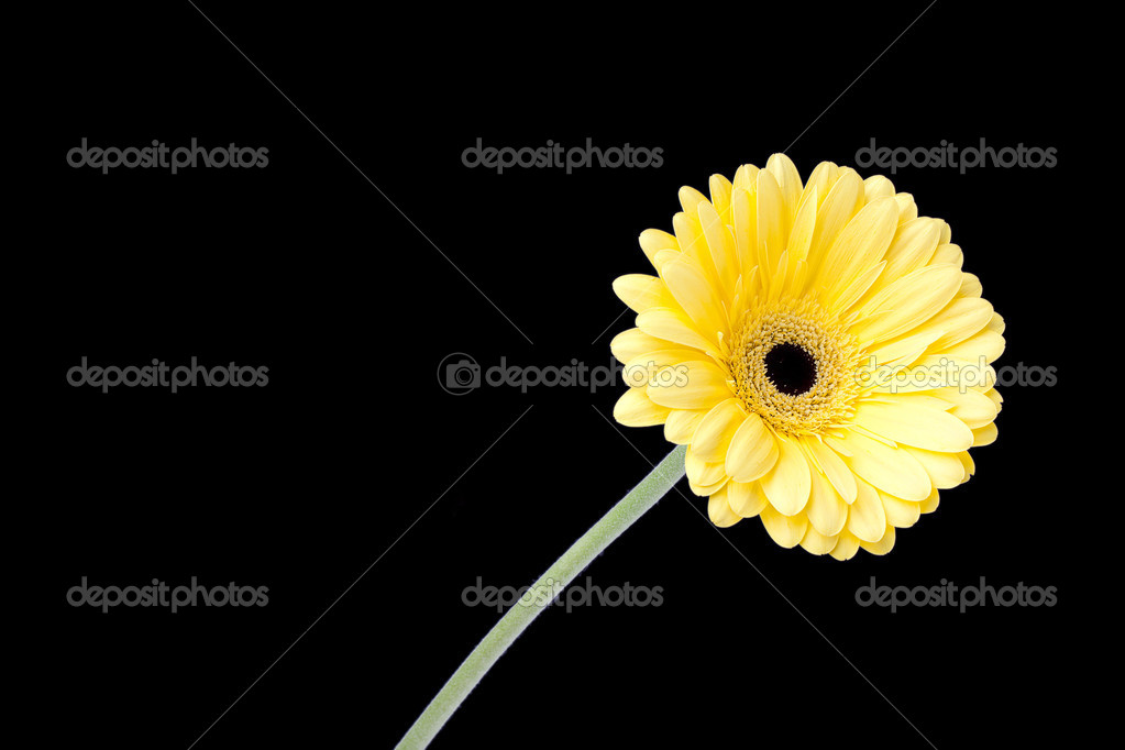 yellow daisy standing on the dark background