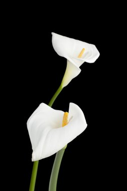 420 two calla lilies on dark background