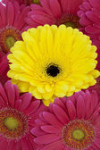 689 pink and yellow gerbera daisies