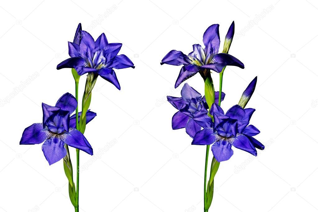 Blue flowers irises isolated on white background