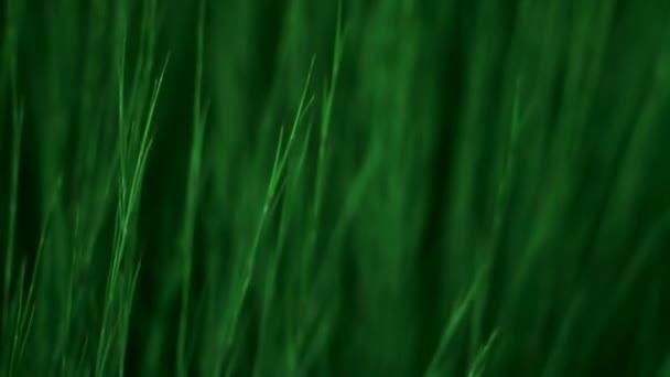 zelené trávě mává, close-up