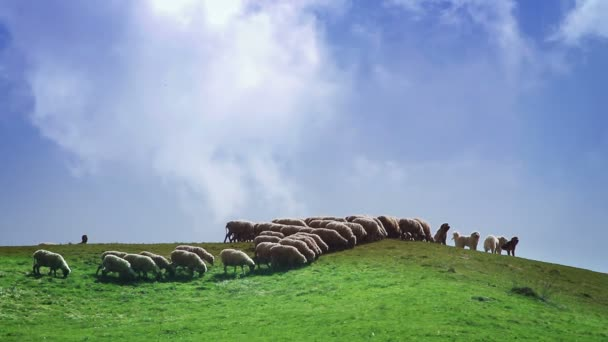 stádo ovcí na zelené louce