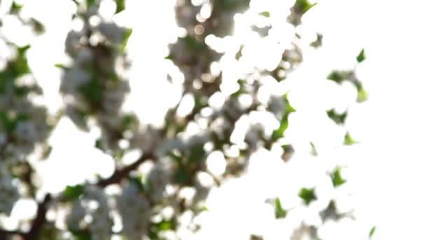 Sour cherry blossoms plantation