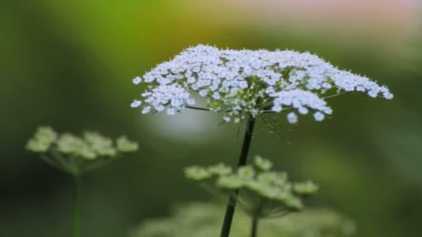 Flower of white yarrow wild plant