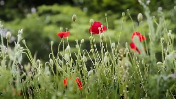 piros pipacs virágok, imbolygott a szélben