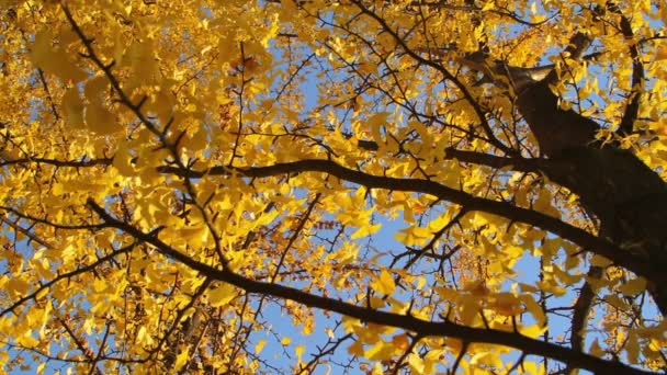 Yellow falling leaves