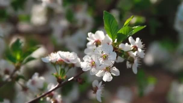 višeň květy plantáž
