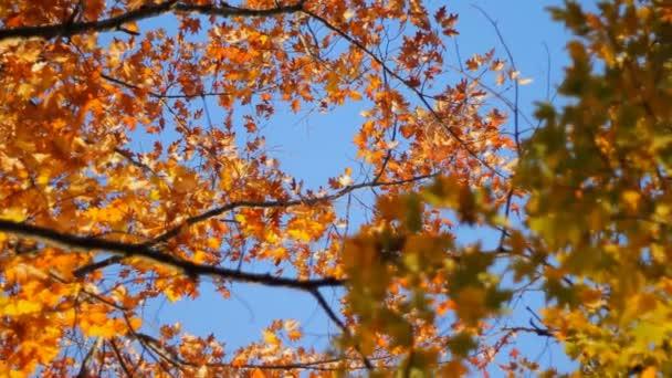 Javorový strom větví