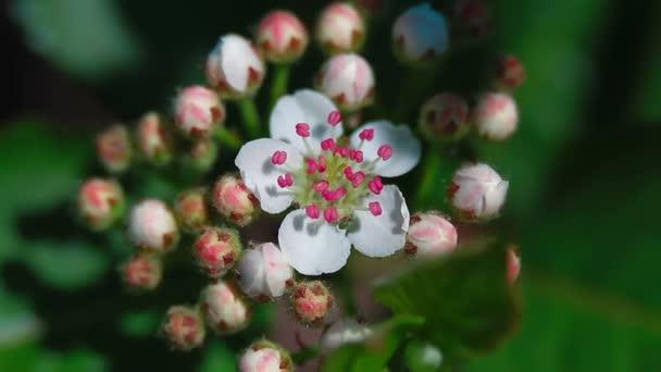 cseresznye virágok ültetvény사 우 어 체리 꽃 농장