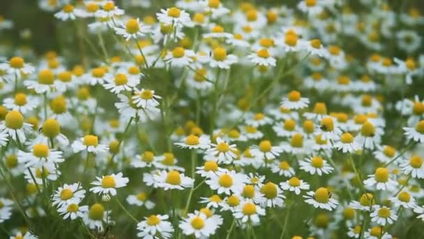 Meadow with chamomile plants in springtime