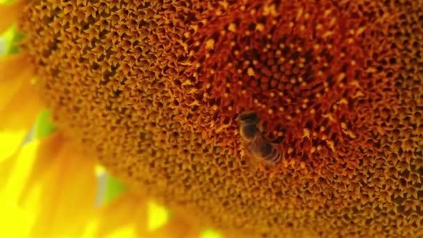 Sunflower with backlight sun
