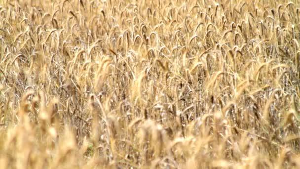Field of golden rye