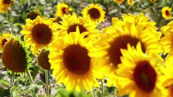 Slunečnice stonky