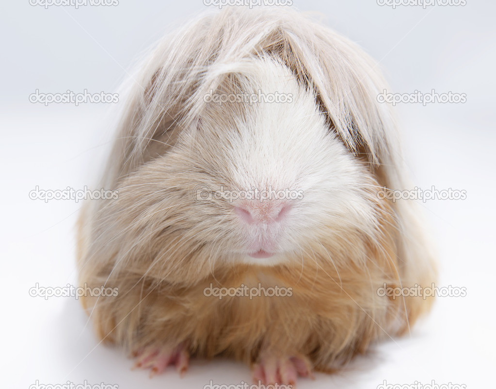 Langharige cavia stockfoto buchachon photo 13148356 for Porcellino d india pelo lungo