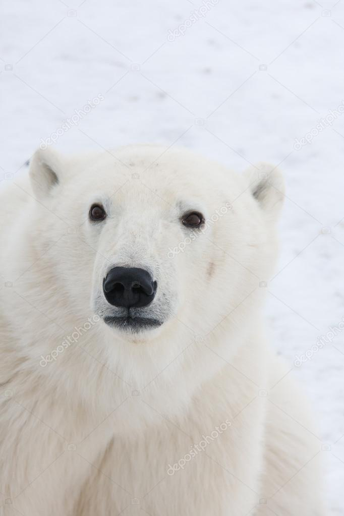 Polar bear, King of the Arctic