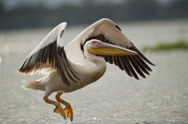 Great White Pelican Flying on Naivasha Lake