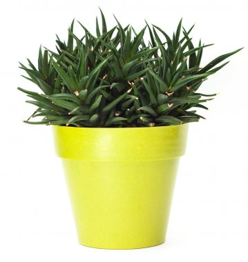 Green plant in pot