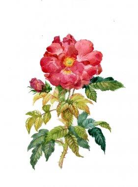 Roses: beautiful flower