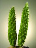 közeli kép: kaktusz