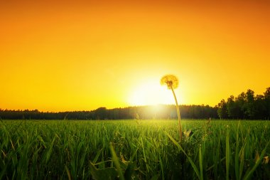 Lonely dandelion on a grass field at sunset, low angle stock vector