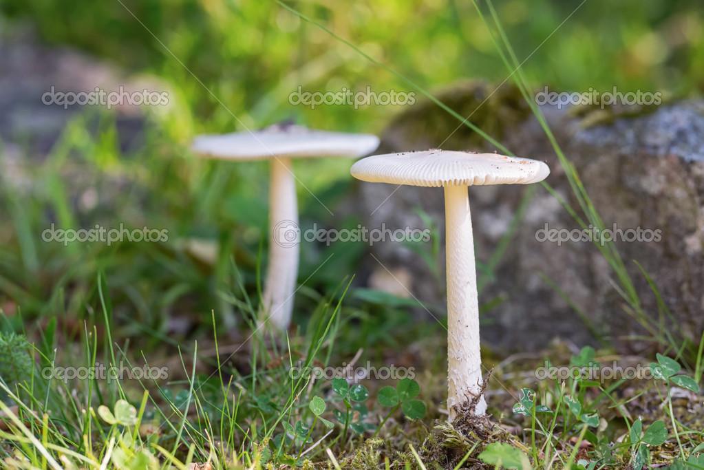 Zwei Weiße Pilze In Einem Garten Stockfoto Steho 49730959